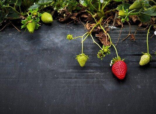 jak sadzić truskawki